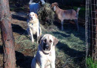 Our livestock guard dogs Cleopatra and Ivory keeping everyone safe.