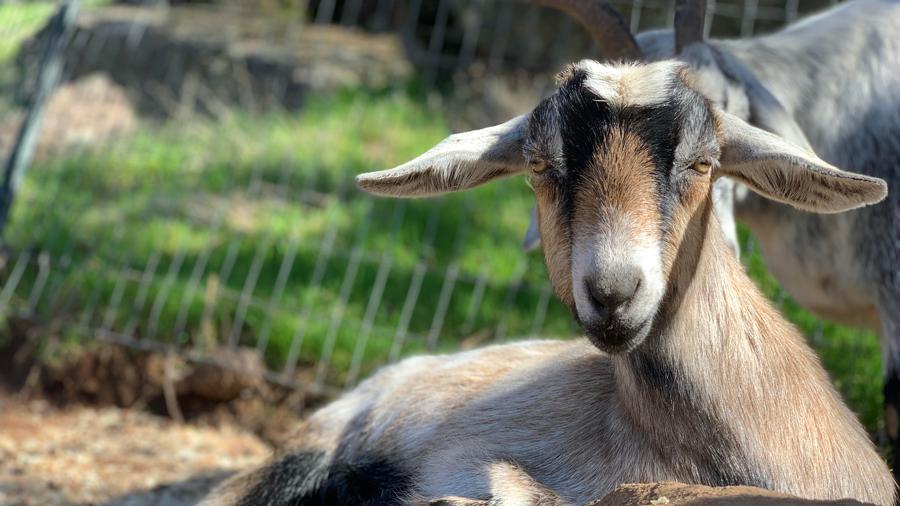 Goat resting on Happy Path Farm